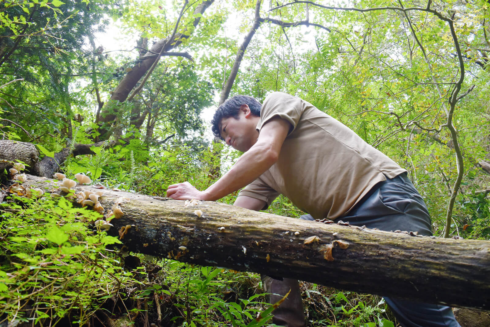 木に跨りながらウスヒラタケを採る打矢シェフ